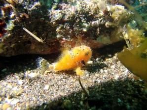 カエルアンコウyg1