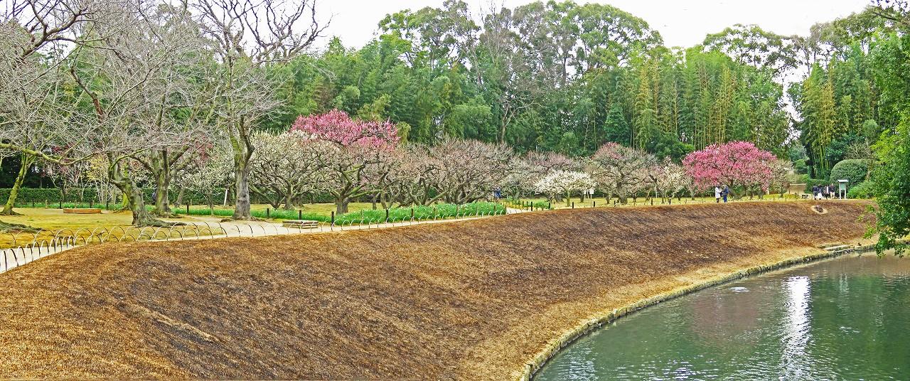20170218 後楽園今日のイベント広場側から眺めた梅林の花の様子ワイド風景 (1)