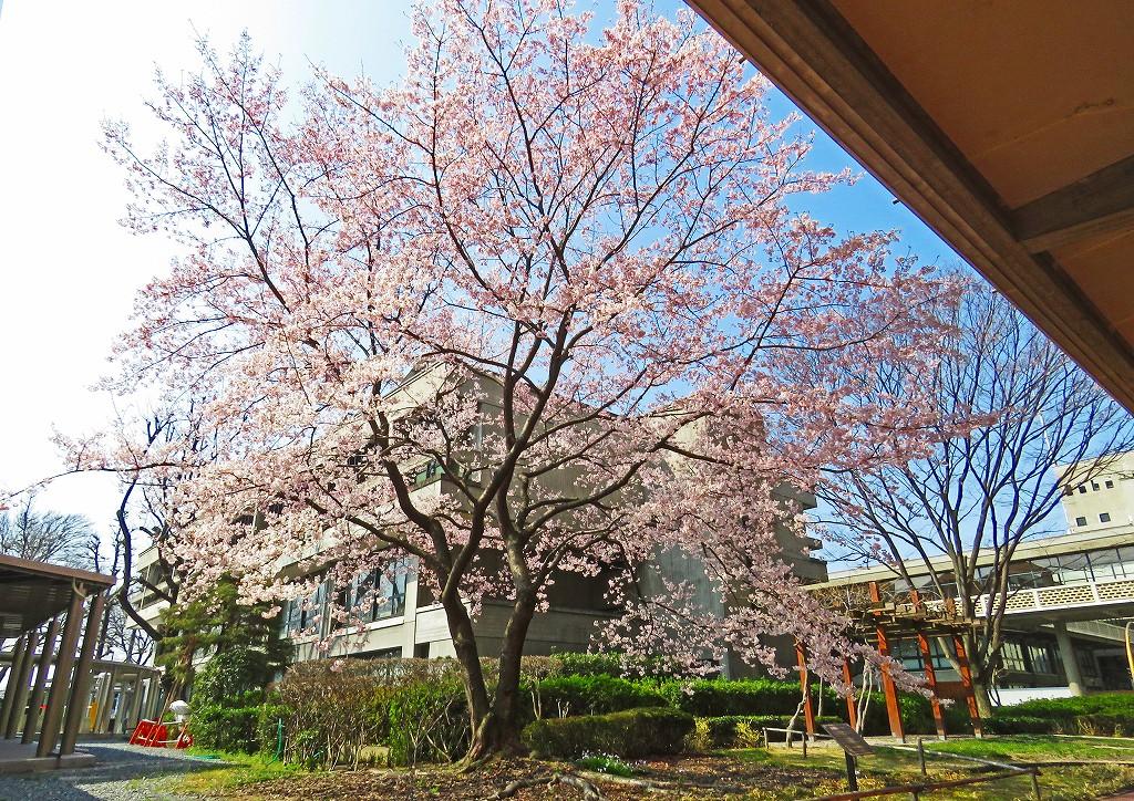 20170328 岡山県庁の醍醐桜の様子 (1)