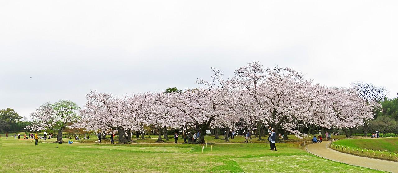 20170408 後楽園今日の桜林の花の様子ワイド風景 (1)