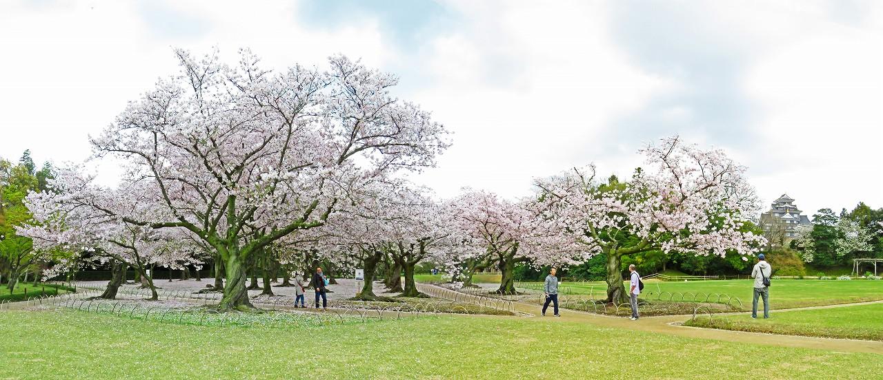 20170412 後楽園今日の桜林の様子ワイド風景 (1)