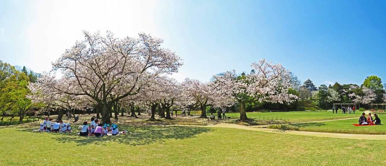 20170413 後楽園今日のイベント広場から眺めた桜林の桜の様子ワイド風景 (1)