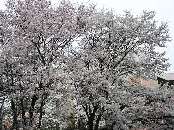 20170417車庫桜1