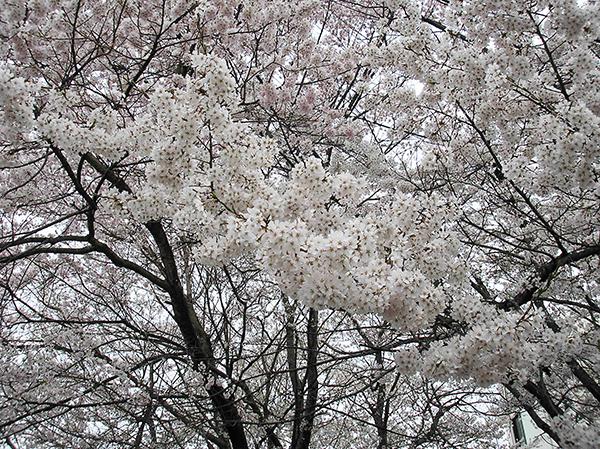 20170417車庫桜2