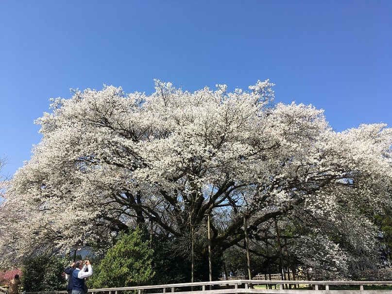 3一心行の桜