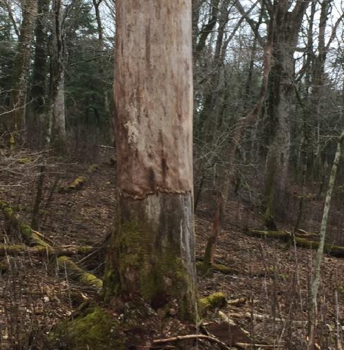 シカに皮を食べられて枯れた木