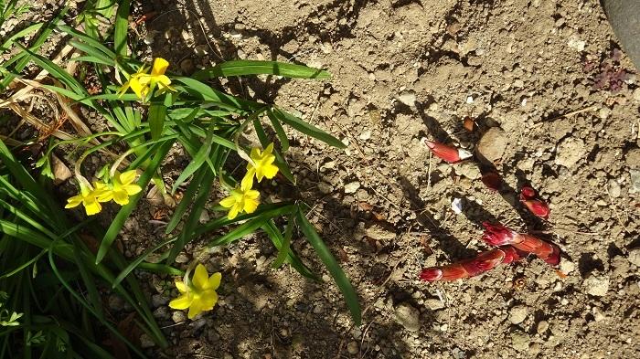 水仙と芍薬