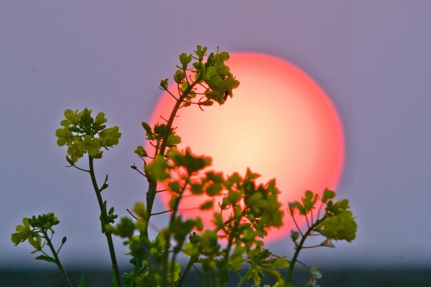 朝陽と菜の花