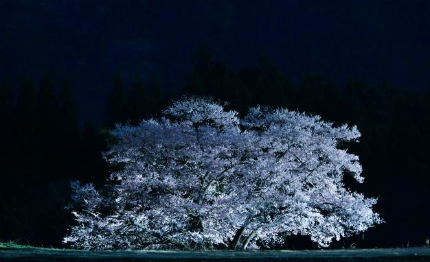 ライトアップ 観音桜