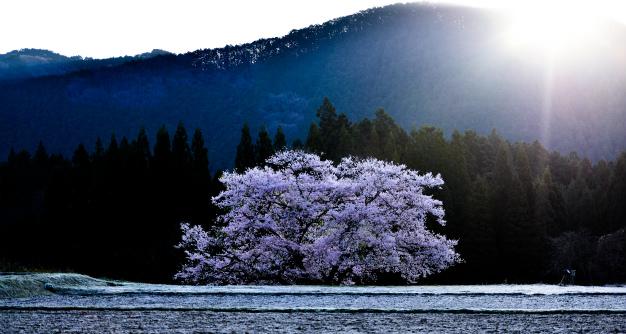 朝陽のライトアップ・観音桜