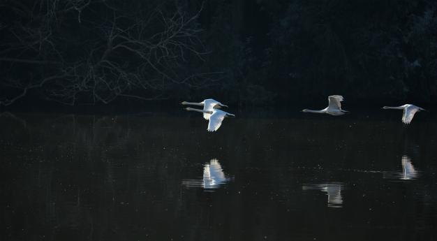水面への映り込みを・オオハクチョウ