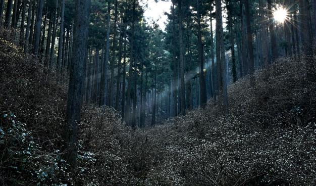 里山のミツマタ