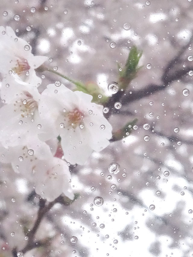お花見日和