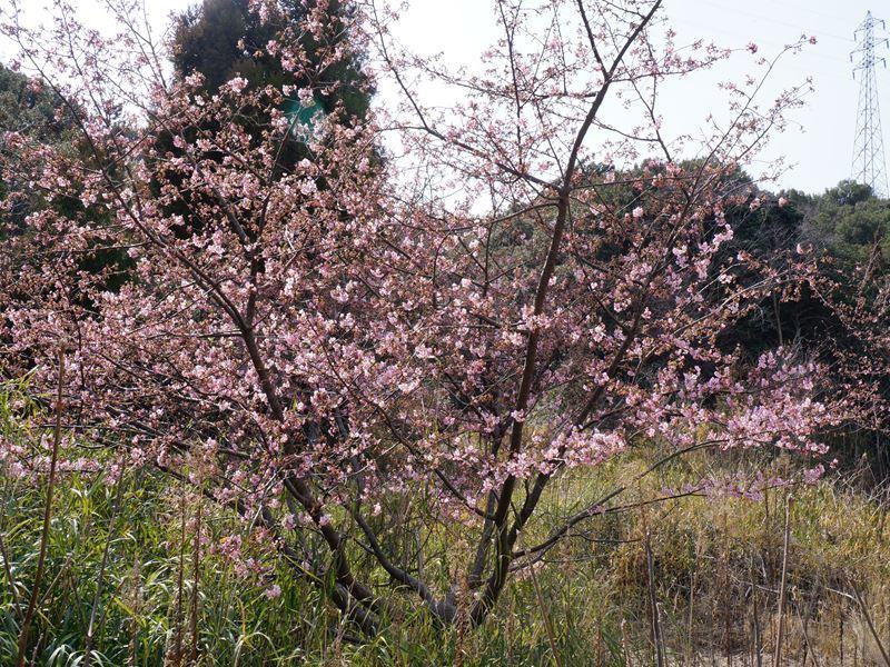 山の川津桜