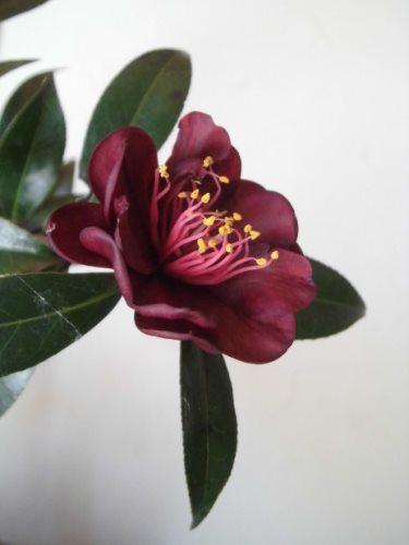 椿(黒花)