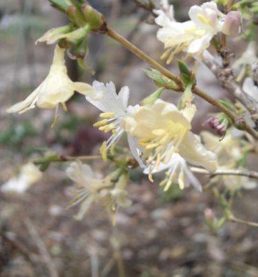 冬咲きリンドウ