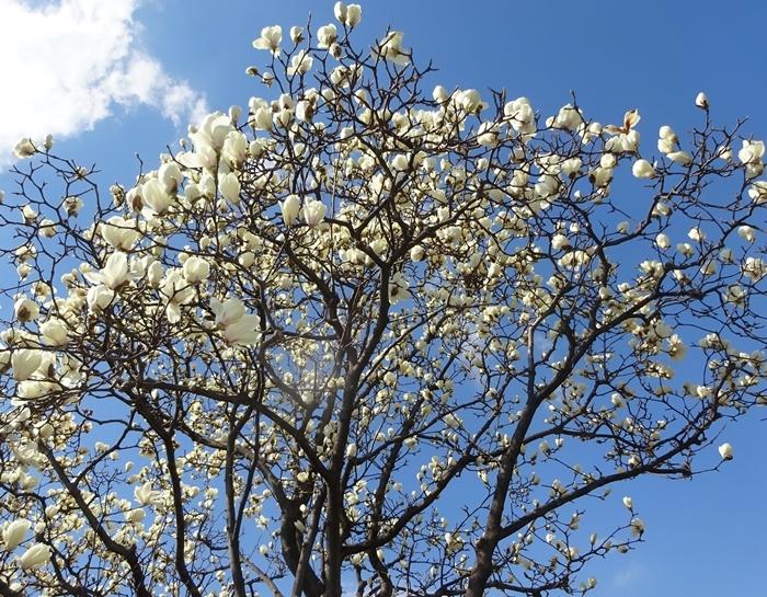 DSC08292こぶしの花1