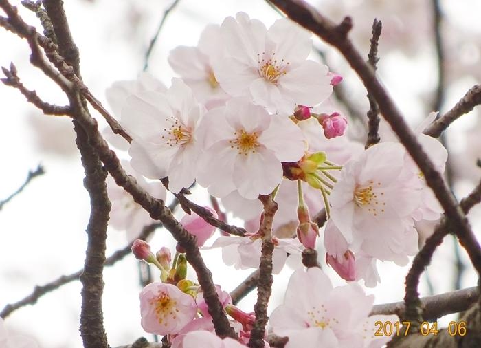 DSC08403桜アップ2