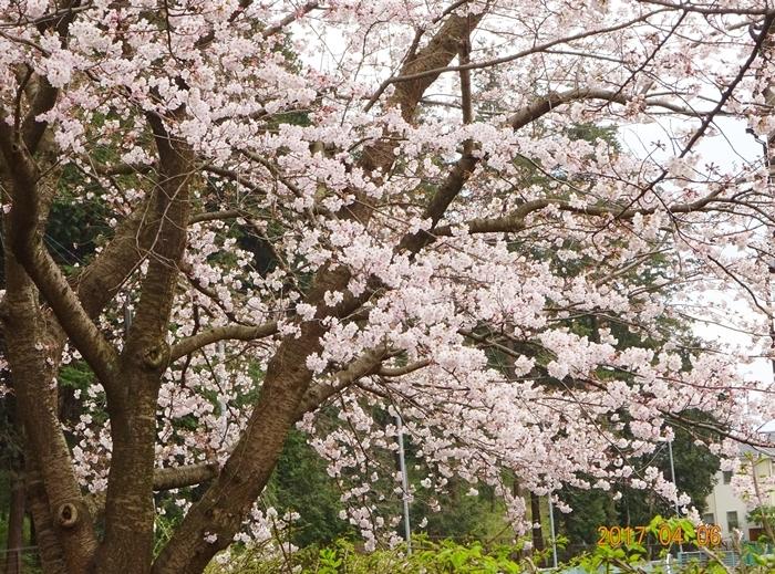 DSC08401桜と道