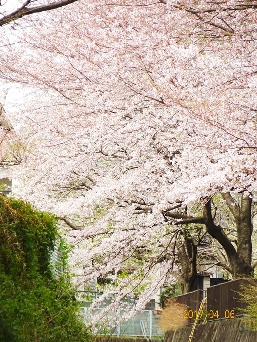 DSC08382桜2