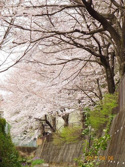 DSC08372桜1