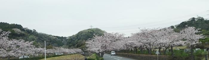 DSC08455重なる桜道
