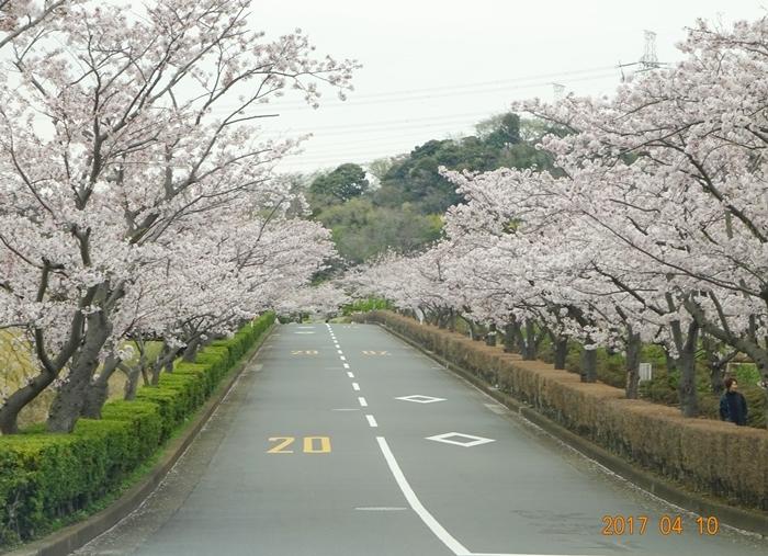 DSC08452霊園桜道