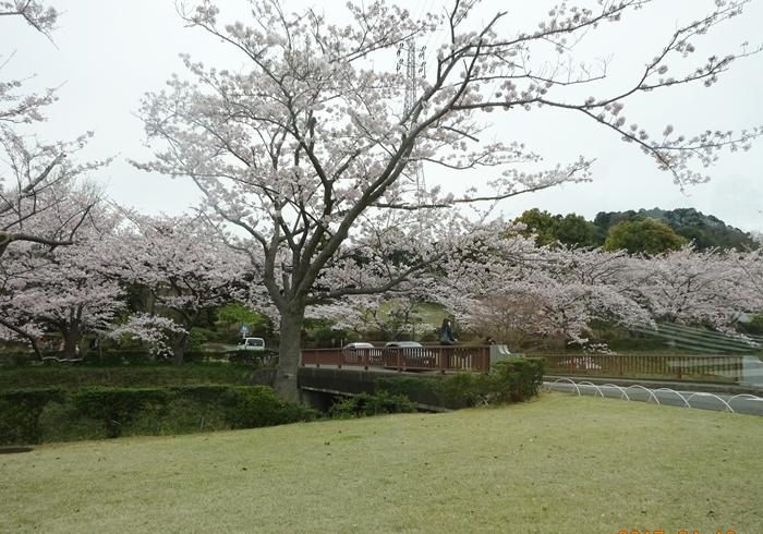 DSC08448霊園桜がいっぱい2