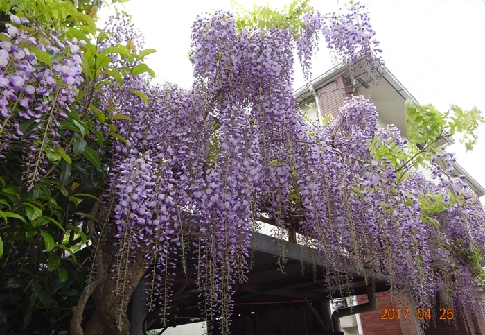 DSC08601藤の花