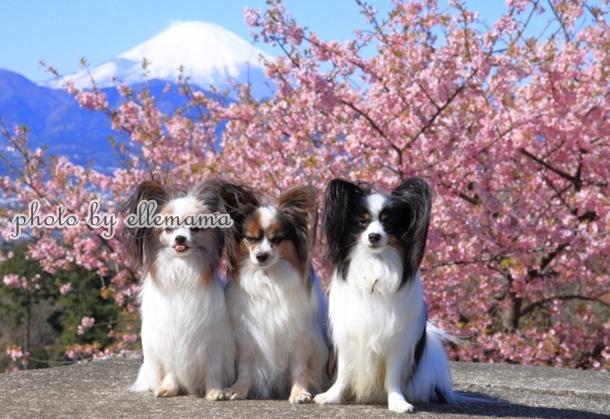 富士とさくら早咲きさくら00005980