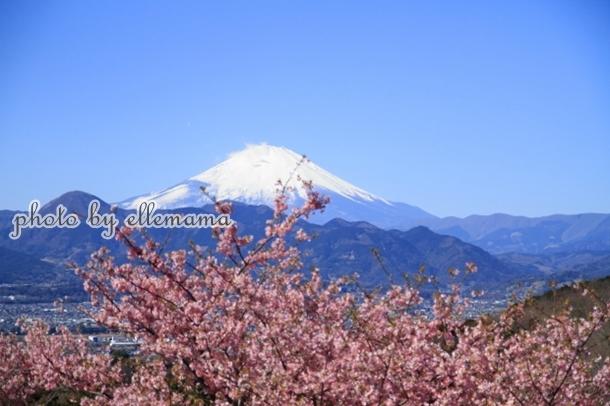 富士とさくら早咲きさくら00005983