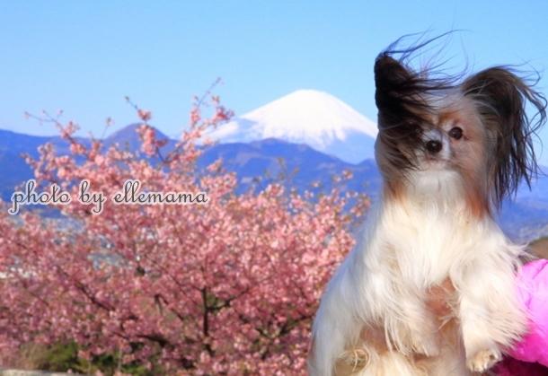 富士とさくら早咲きさくら00005935