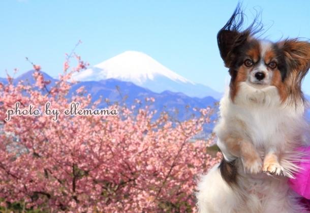 富士とさくら早咲きさくら00005940