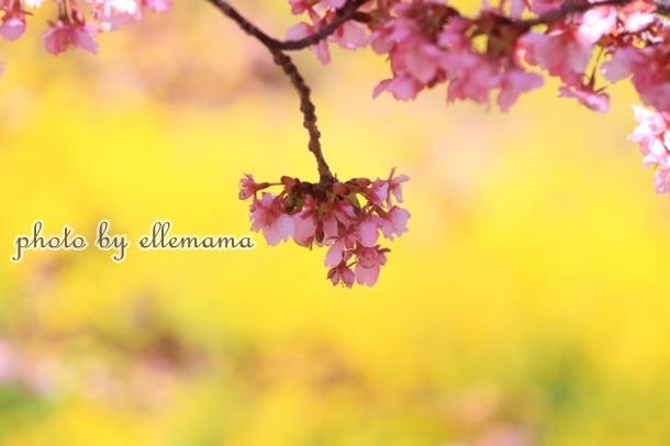 富士とさくら早咲きさくら00006003