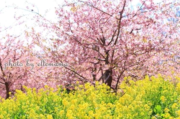 富士とさくら早咲きさくら00006037