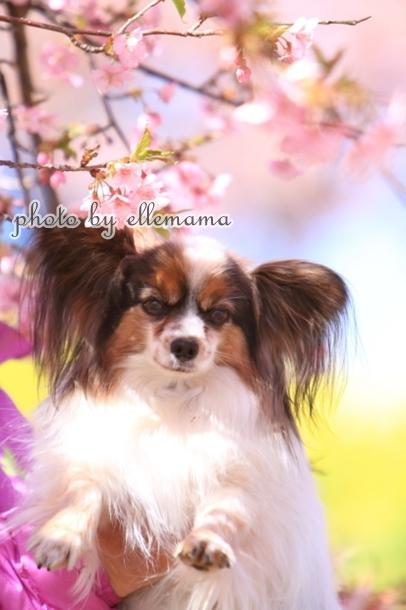 富士とさくら早咲きさくら00006062