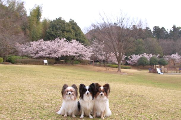 玉縄桜201700006665