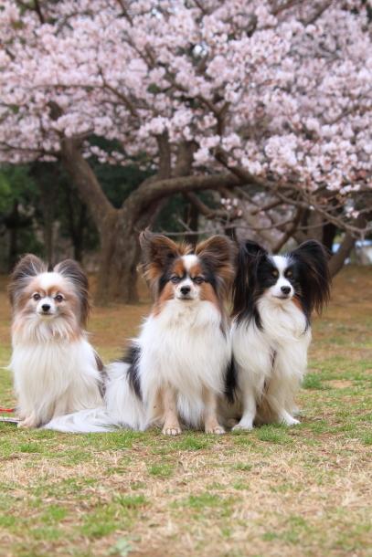 玉縄桜201700006669