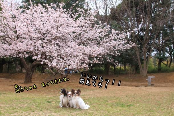 玉縄桜201700006674