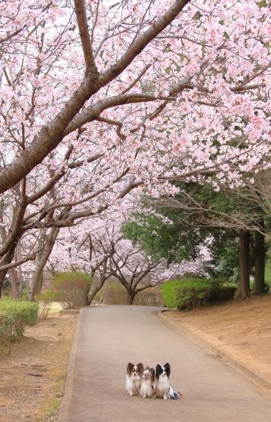 玉縄桜201700006682