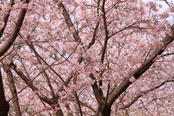 玉縄桜201700006685