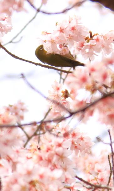 玉縄桜201700006691