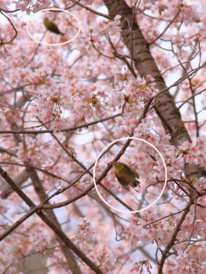 玉縄桜201700006687飛んでるメジロ