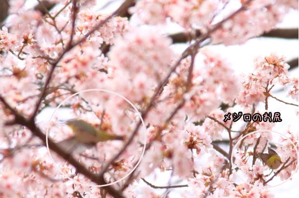 玉縄桜201700006693飛んでるメジロ2