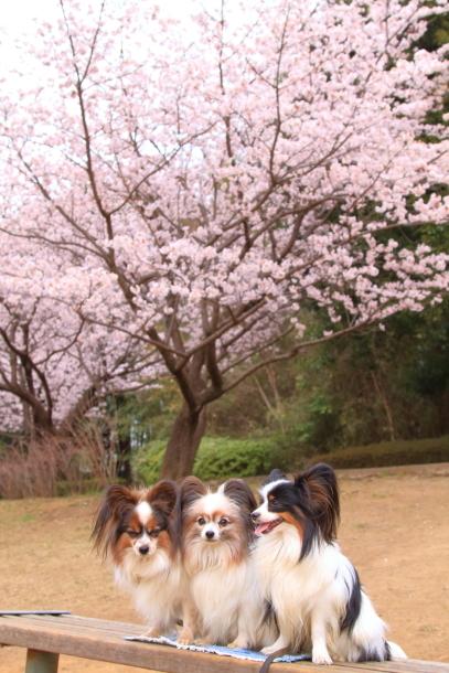 玉縄桜201700006712