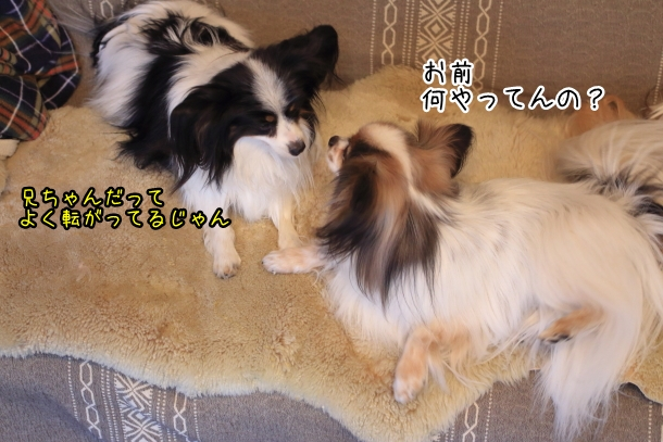 ソファの犬00007327