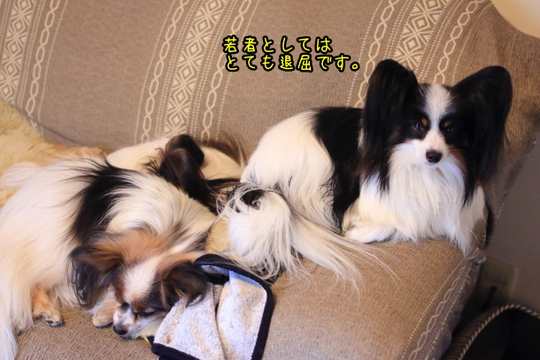 ソファの犬00007334