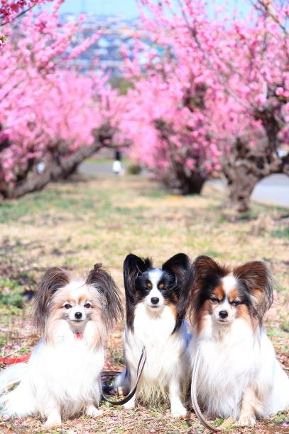 ハナモモ 犬達0027