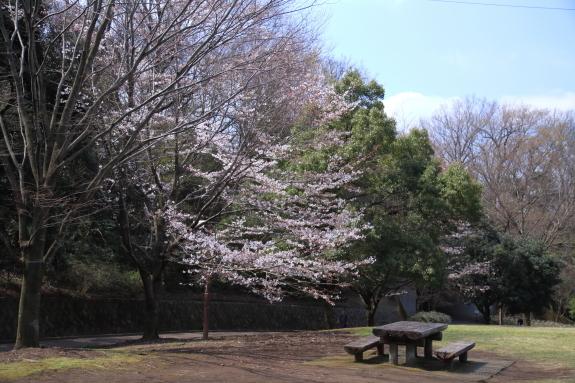 ふるさと公園 ソメイヨシノまだ00009257