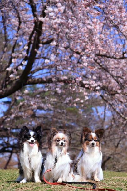 野川公園 お花見00009290